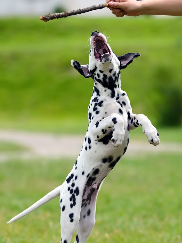 dalmatian-dog-outdoors-in-summer-PRZEDG4.jpg