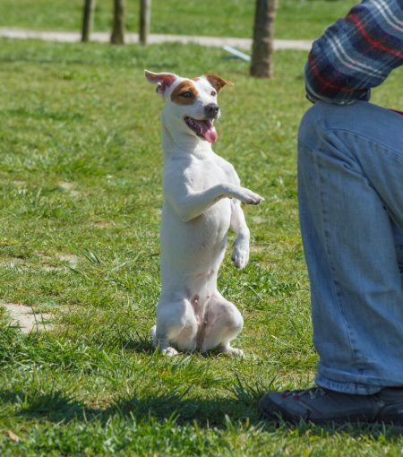 Trainer with a Jack Russell Terrier